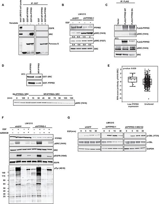 PTPRO controls EGFR by directly dephosphorylating the SRC kinase.