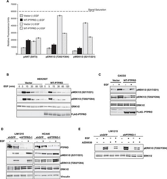 PTPRO inhibits EGF-dependent MAPK pathway activation.