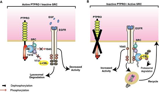 PTPRO negatively regulates SRC/EGFR signaling.