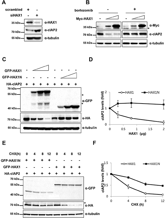 HAX1 promotes degradation of cIAP2.