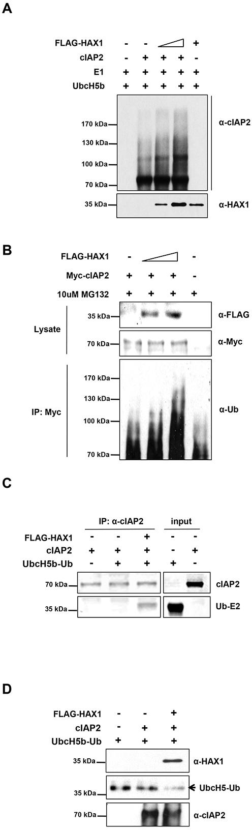 HAX1 augments the E3 ligase activity of cIAP2.