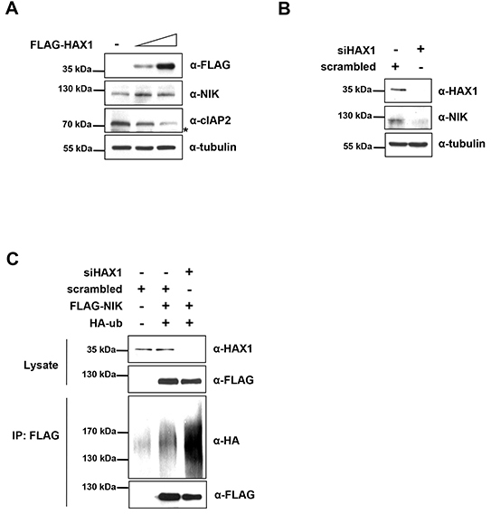 HAX1 regulates the degradation of NIK.