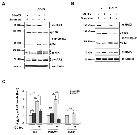 HAX1 modulates the non-canonical NF-κB signaling pathway by stabilization of NIK.