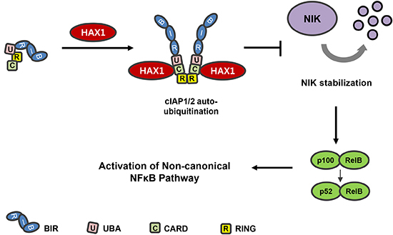 Model depicting the role of HAX1 in the non-canonical NF-κB signaling pathway.