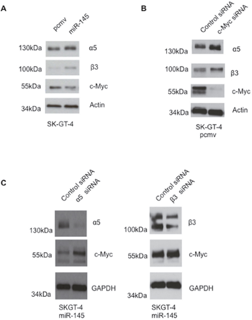 miR-145 expression in EAC cells leads to higher expression of integrins α5 and β3 but lower expression of c-Myc.