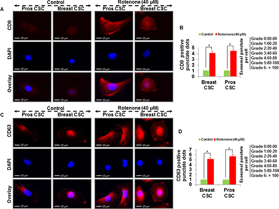 Detection of exosomal markers CD9 and CD63 in prostate and breast CSCs.
