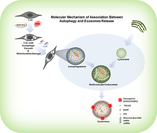 Model represents the activation of autophagy, formation of autophagosomes and release of exosomes from the rotenone treated CSCs.