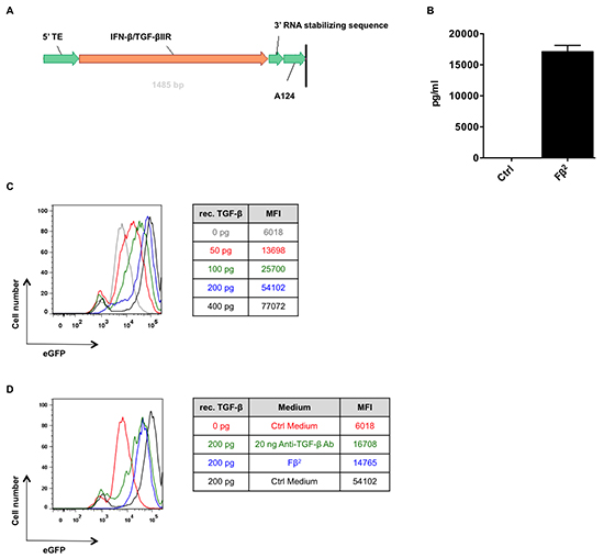 Fβ2 mRNA is translated to a functional protein.