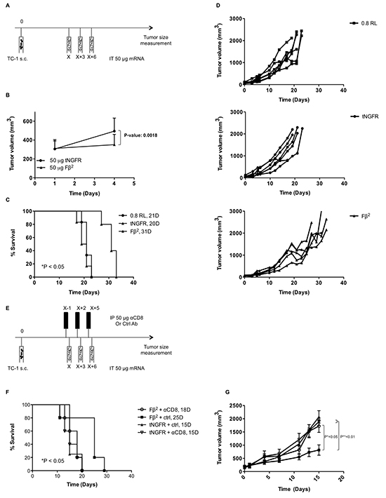 Intratumoral delivery of Fβ2 mRNA to TC-1 bearing mice delays tumor growth.