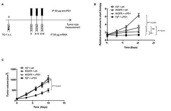 Blockade of PD-1/PD-L1 interactions combined with Fβ2 mRNA treatment improves therapeutic responses.