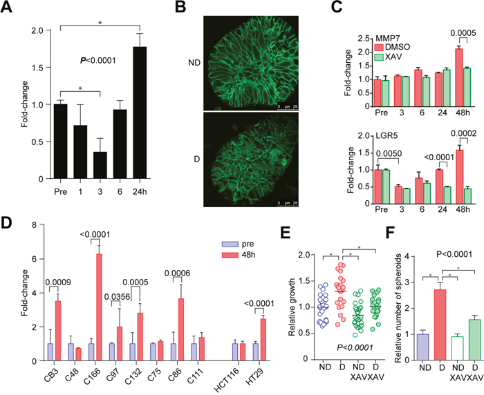 Activation of WNT signaling in the disruption/reformation process.