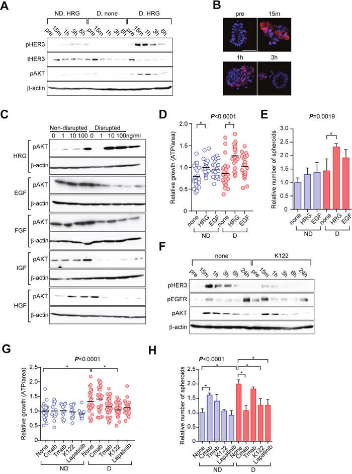 Activation of ERBB signaling is critical to the disruption/reformation process of C45 CTOSs.