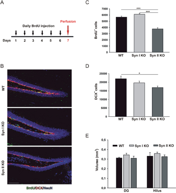 Neuronal progenitor proliferation in the DG of juvenile Syn I KO and Syn II KO mice.