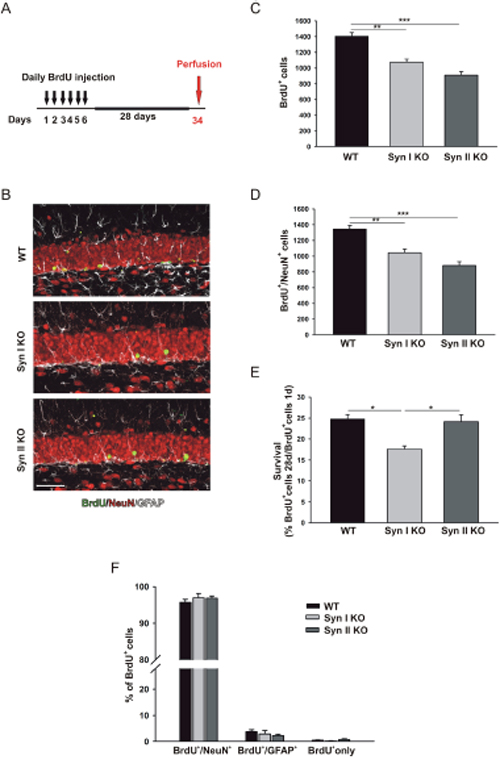 Survival and differentiation of neuronal progenitors in the DG of juvenile Syn I KO and Syn II KO mice.
