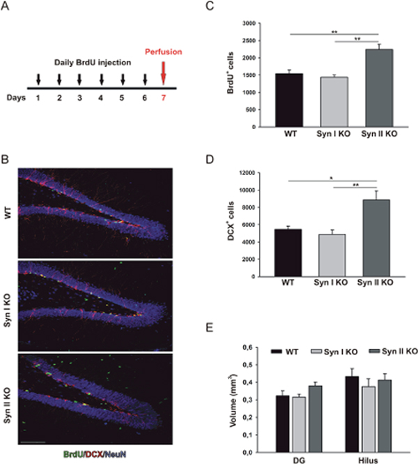 Neuronal progenitor proliferation in the DG of symptomatic Syn I KO and Syn II KO mice.