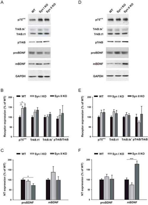 BDNF signaling in the DG of juvenile and symptomatic Syn I KO and Syn II KO mice.