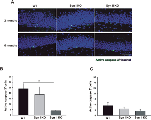 Apoptotic cell death rates in the DG of Syn I KO and Syn II KO mice.