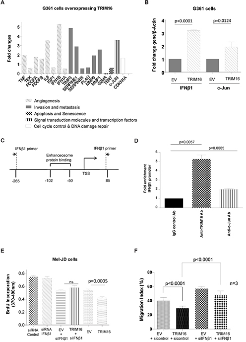 TRIM16 directly binds the IFNβ1 gene promoter and induces IFNβ1 transcription.