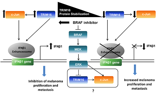 A proposed model for the role of TRIM16 in melanoma.