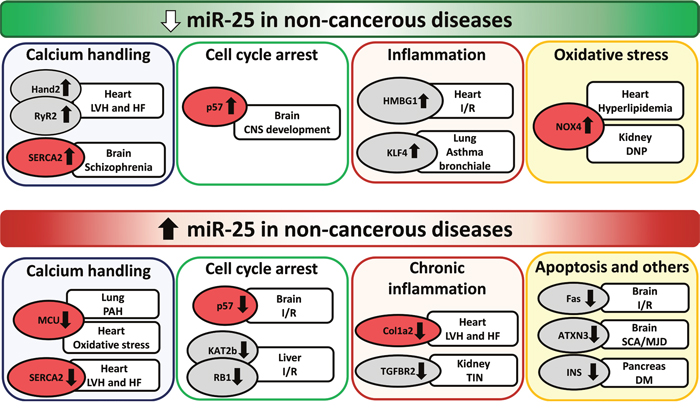 Repression and overexpression of miR-25 in non-cancerous diseases.
