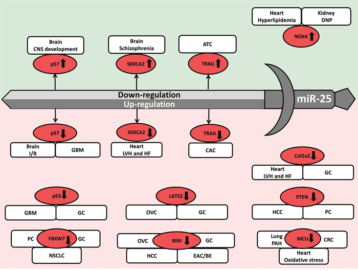 MiR-25 acts as a double-edged sword in the development of diverse diseases.