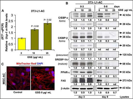 Effect of GSE on the browning of adipocytes.