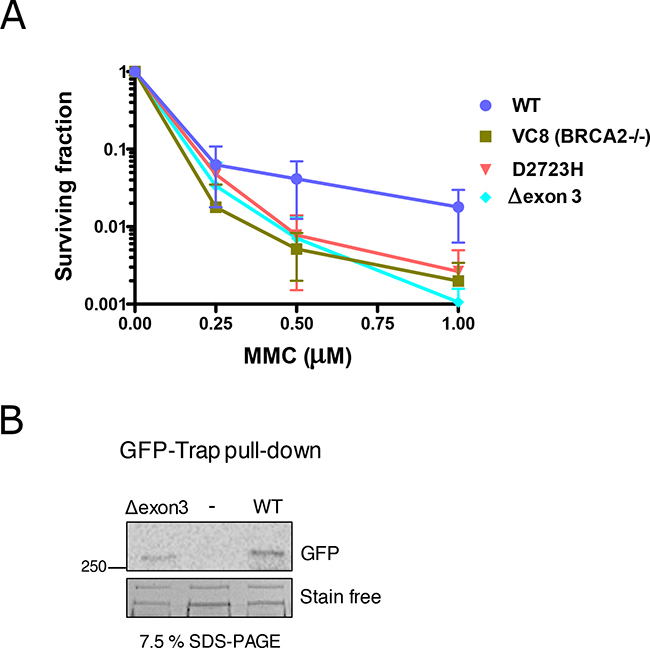 Hypersensitivity of cells exposed to Mitomycin C (MMC) expressing BRCA2 cDNA carrying Δexon 3.