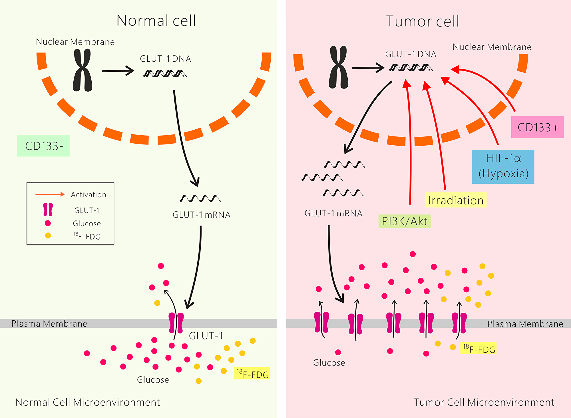 Possible mechanisms of resistance to cancer radiotherapy and chemotherapy mediated by GLUT-1.