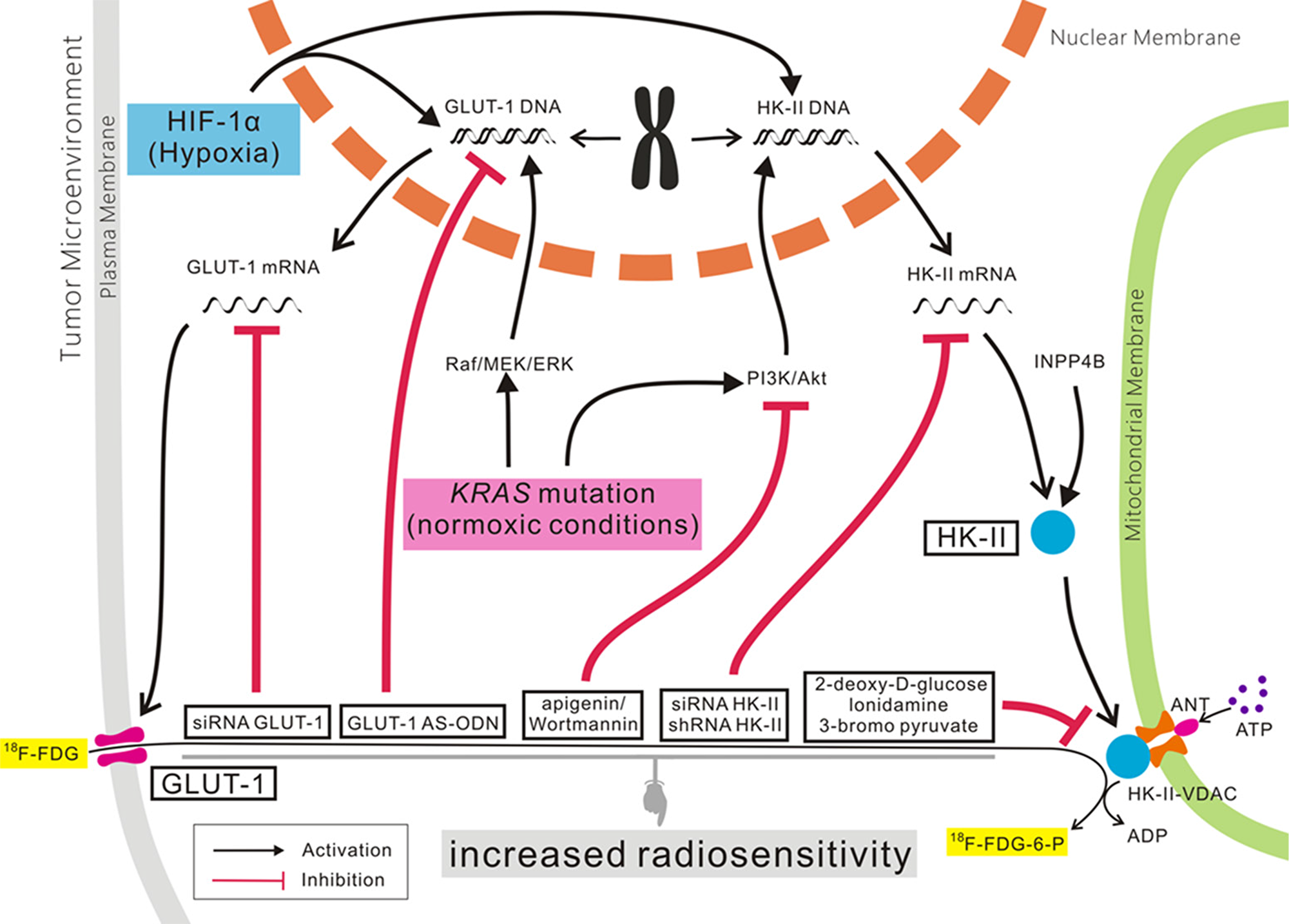 The role of GLUT-1 and HK-II expression in cancer.
