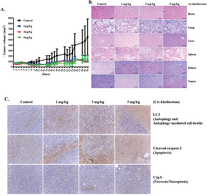 In vivo assessment of cis-khellactone anti-tumor activity in a murine model.