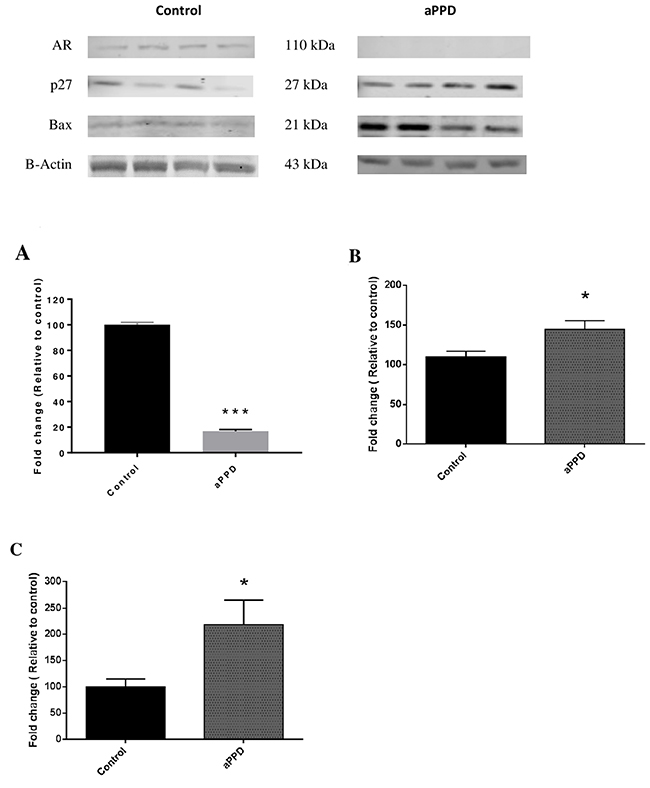 Representative Immunoblots and quantitative analyses of protein levels in C4-2 xenograft tumor as determined by Western blot.