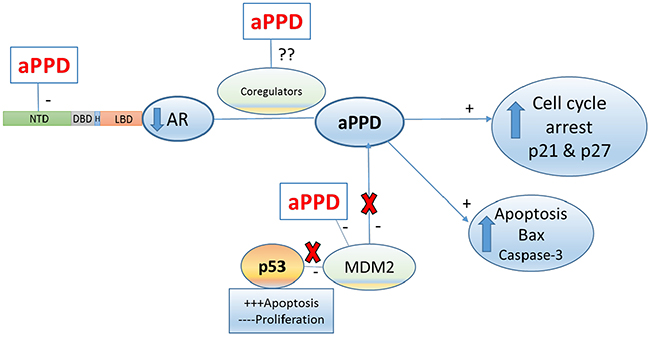 Proposed aPPD anti-prostate cancer mechanism in C4-2 model of castration-resistant prostate cancer.