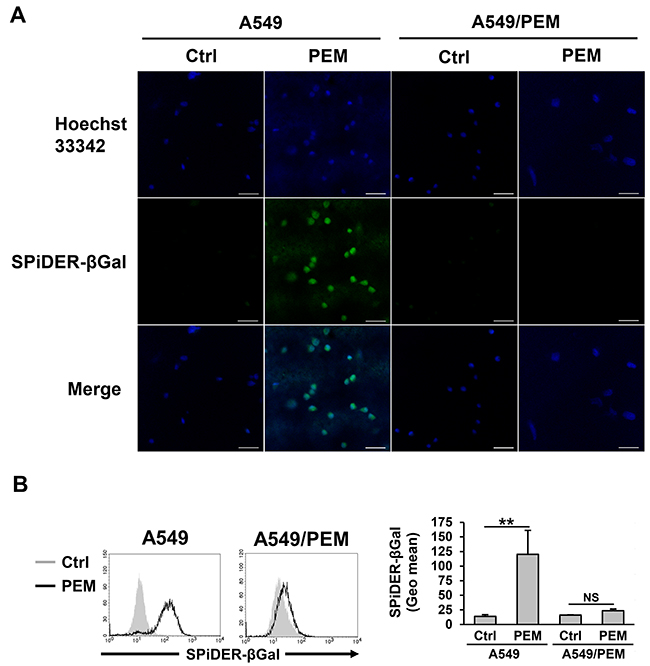 PEM-induced senescence in the parental A549 cell line.
