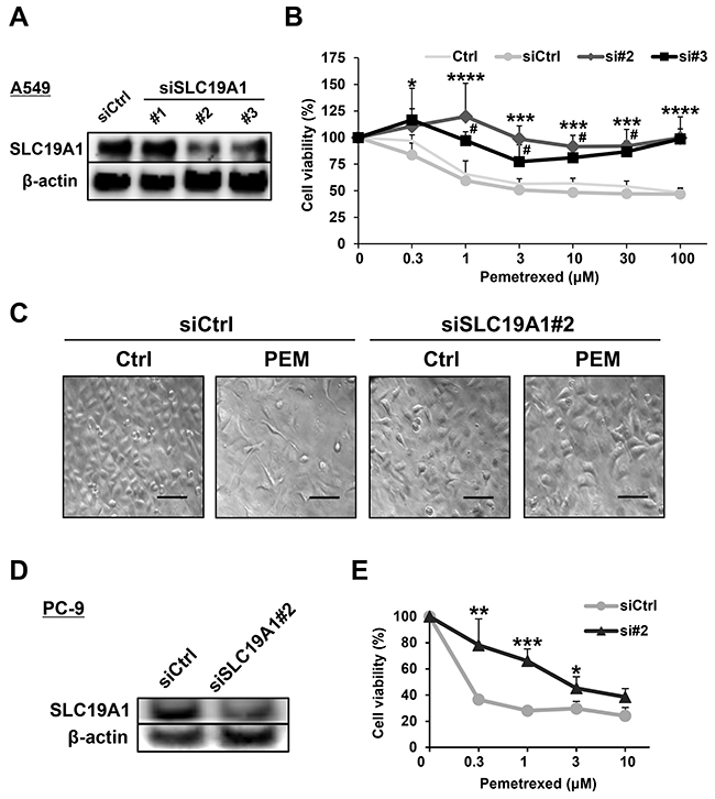 SLC19A1 negatively regulates PEM-sensitivity in NSCLC cell lines.