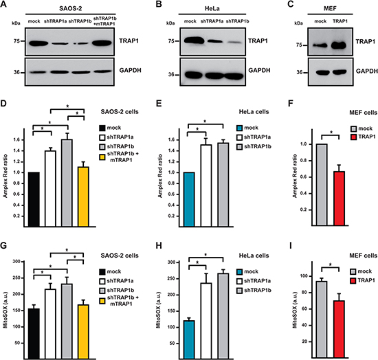 TRAP1 expression decreases intracellular ROS levels.