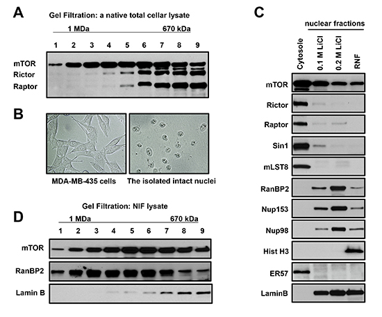 A novel mTOR complex is distinct from mTORC1 and mTORC2 by size and sub-cellular localization.