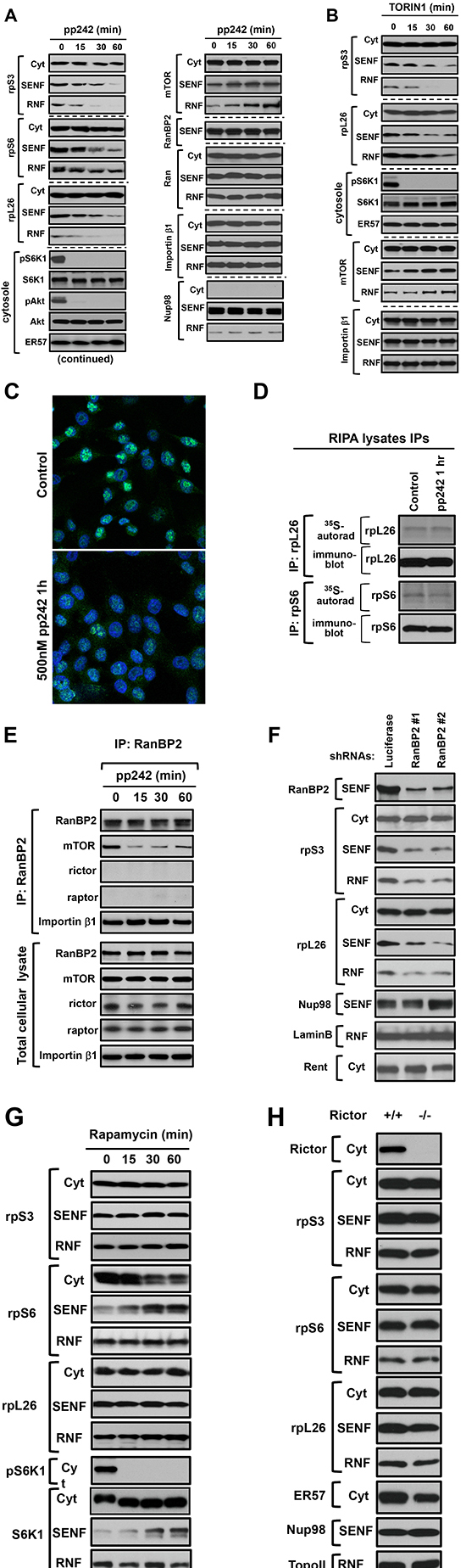 The mTOR kinase activity regulates the nuclear accumulation of ribosomal proteins independent of rapamycin and rictor expression.