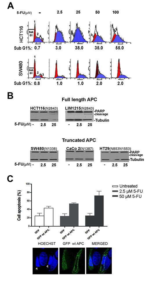 CRC cells are differentially sensitive to 5-FU treatment.