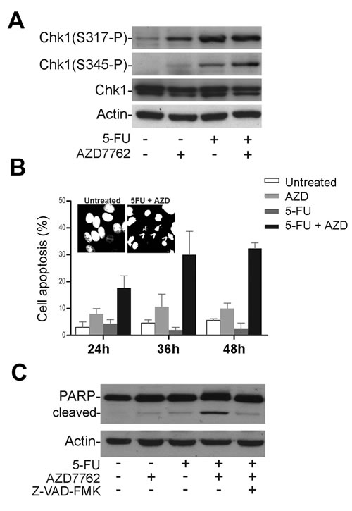 The Chk1/2 inhibitor AZD7762 sensitizes SW480 colon cancer cells to 5-FU.