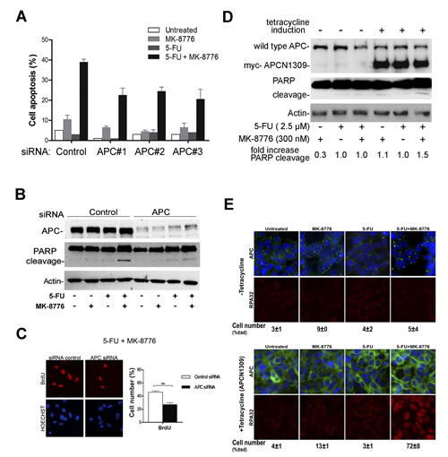 Mutant APC has a gain-of-function effect and contributes to optimal apoptotic response to 5-FU after Chk1 inhibition in SW480 cells.