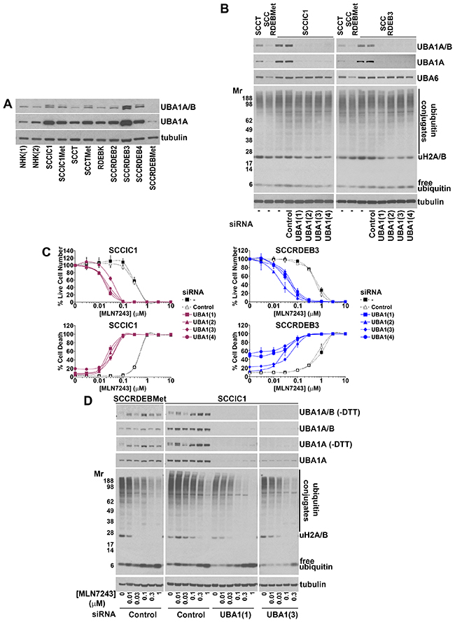 Low UBA1 protein expression is a determinant of sensitivity to MLN7243.