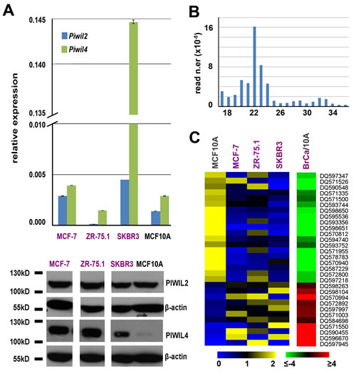 Expression of PIWIL proteins and PIWI-interacting RNAs (piRNAs) in BC cell lines.