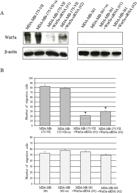 Knockdown of Wnt5a decreases the migratory capacity of MDA-MB-175-VII cells.