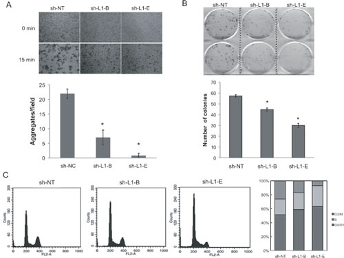 Effects of L1 cell adhesion molecule (L1CAM) knockdown on prostate cancer PC3 cell homophilic adhesions and growth.