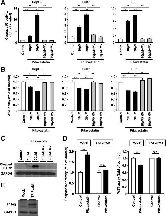 Reduced expression of FoxM1 by HMGCR-inhibition is associated with increased cell death in human hepatoma cells.