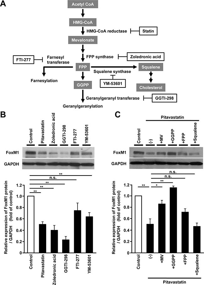 FoxM1 expression is regulated via protein geranylgeranylation in human hepatoma cells.