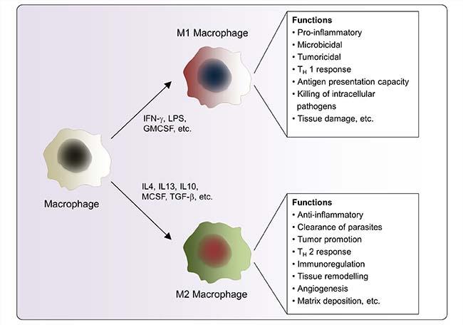 junb is a key transcriptional modulator of macrophage activation,