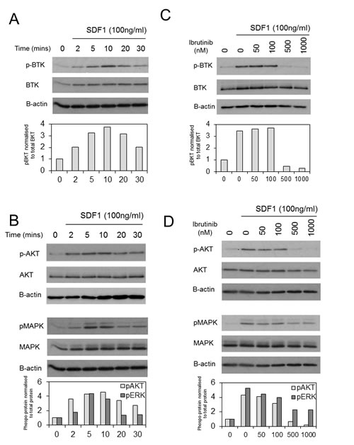 BTK is activated in response to SDF-1 in human AML.