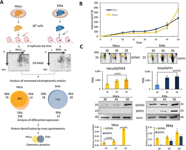 Proteomics analysis of tumor progression model of xenotransplanted cervical cancer cell lines revealed proteins involved in the tumor growth.