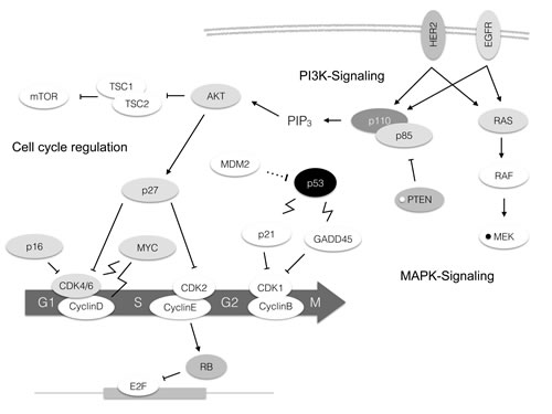 Molecular alterations in TNBC depicted in the pathway context.